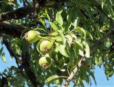Grusha_Pyrus salicifolia_IMG_2873-001 (2)
