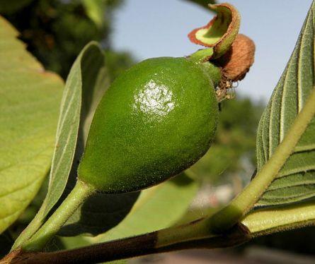 Guava_P6230016-1a