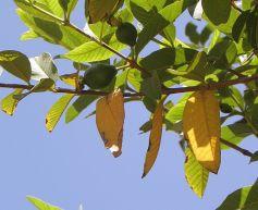 Guava_P6250064-1a