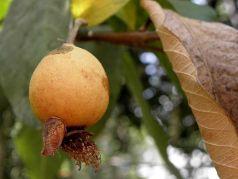 Guava_P7300011-1a
