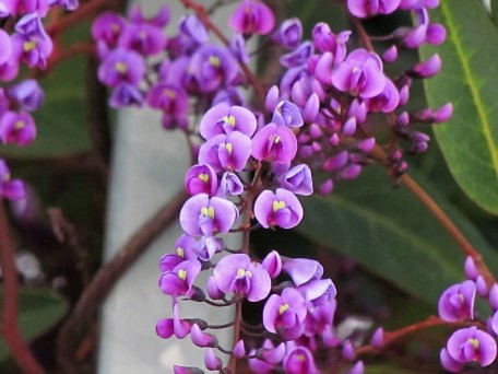 Hardenbergia violacea_Wisteria floribunda_IMG_5070 (2)