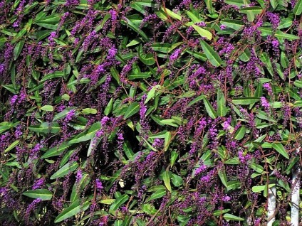 Hardenbergia violacea_Wisteria floribunda_IMG_5074 (2)