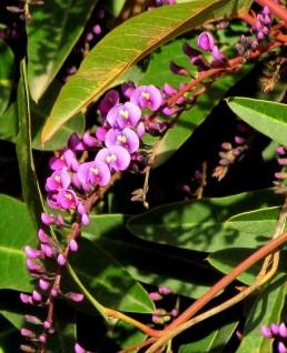 Hardenbergia violacea_Wisteria floribunda_IMG_5075-003 (2)