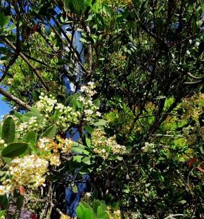Heteromeles arbutifolia_IMG_1414-001 (2)