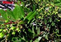 Heteromeles arbutifolia_IMG_1416-003 (2)