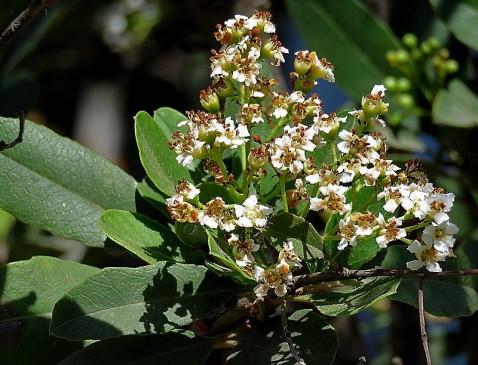 Heteromeles arbutifolia_IMG_1417-001 (2)