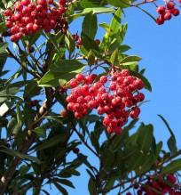 Heteromeles arbutifolia_IMG_1874-001