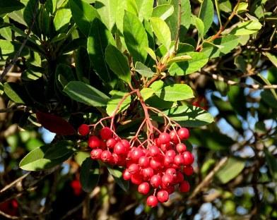 Heteromeles arbutifolia_IMG_1877-001
