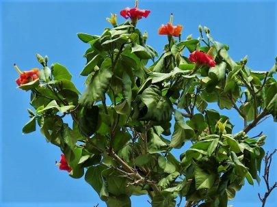 Hibiscus elatus IMG_1606 (3)-a