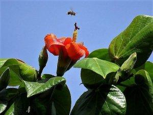 Hibiscus elatus IMG_5009-001 (3)-a
