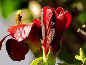 Hibiscus elatus IMG_6036-003-a