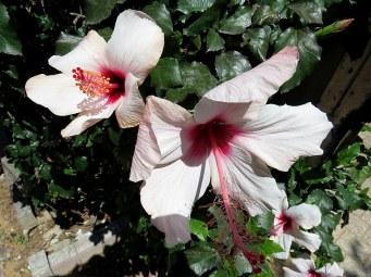 Hibiscus IMG_4078-001