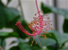Hibiscus schizopetalus IMG_3265-001 (2)