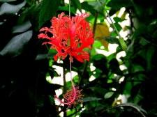 Hibiscus schizopetalus IMG_3267-003