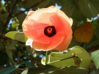 Hibiscus tiliaceus_P7100765_a