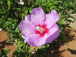 Hibiscus_syriacus_IMG_0190-001