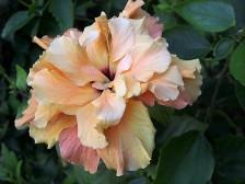 Hibiscus_zephyr_CIMG3599 (2)
