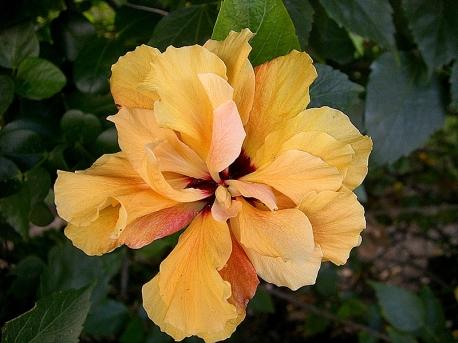Hibiscus_zephyr_CIMG3600-001