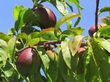 Nectarin_Prunus persica IMG_0554-001