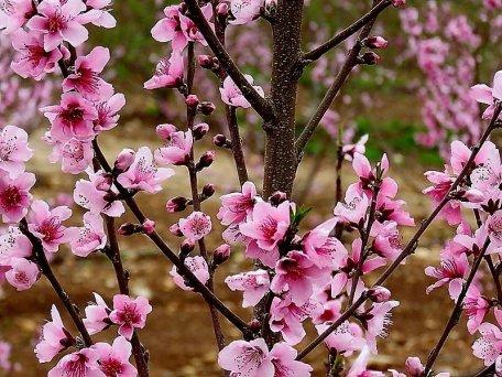Nectarin_Prunus persica IMG_0626-002-a