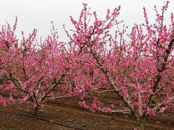 Nectarin_Prunus persica IMG_2509 (2)