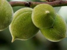 Persik_Prunus persica_IMG_0781