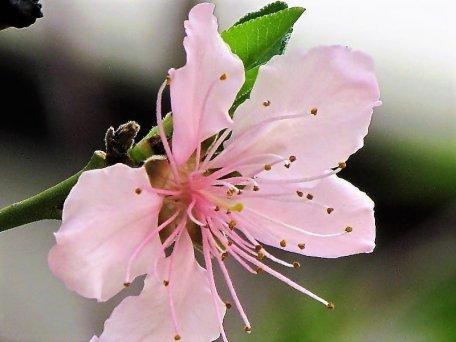 Persik_Prunus persica_IMG_8640 (3)-a