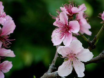 Persik_Prunus persica_P3310323_a