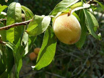 Persik_Prunus persica_P8110359_a