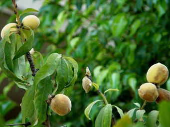Persik_Prunus persica_P8110386_a