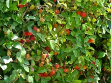Pitanga_Eugenia uniflora_IMG_7280 (2)