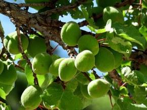 Prunus armeniaca Abricos_IMG_6728-001