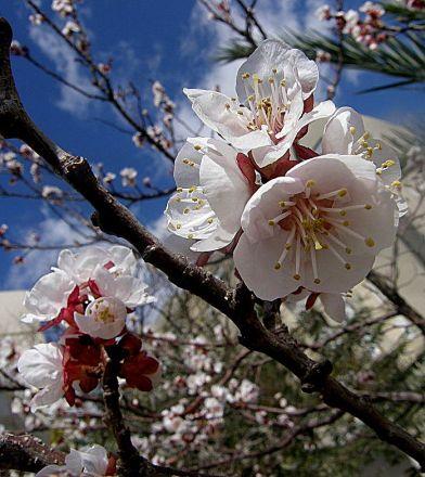 Prunus armeniaca Abricos_P3300164_a