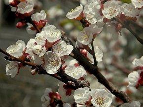 Prunus armeniaca Abricos_P3300169_b