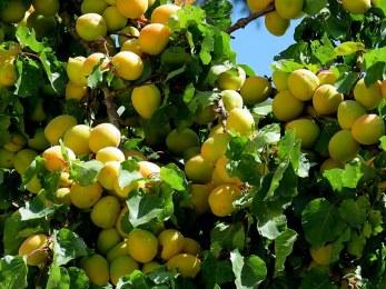 Prunus armeniaca Abrikos IMG_2173-001