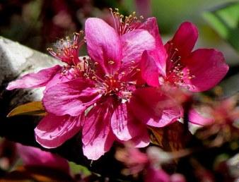 Prunus campanulata IMG_0848-001
