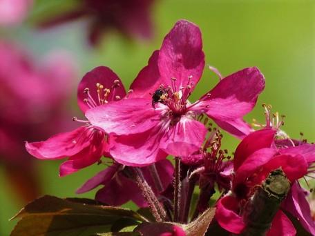 Prunus campanulata IMG_0851 (2)