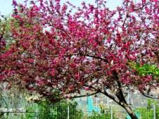 Prunus campanulata IMG_0875