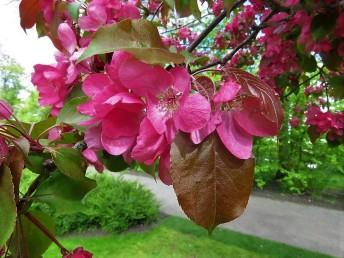 Prunus campanulata IMG_5202 (2)