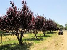 Prunus cerasifera IMG_0504 (2)
