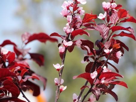 Prunus cerasifera IMG_0886 (2)