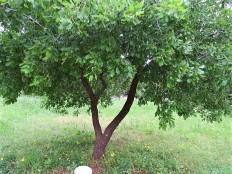 Quercusithaburensis IMG_1876-001