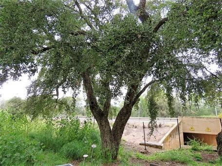 Quercussuber IMG_1892 (2)