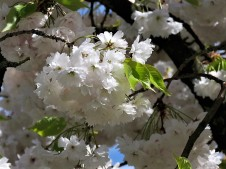 Sakura_Cerasus serrulata IMG_5341 (2)