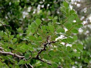 Senegalia (Acacia nigrescens) IMG_1864-001 (2)