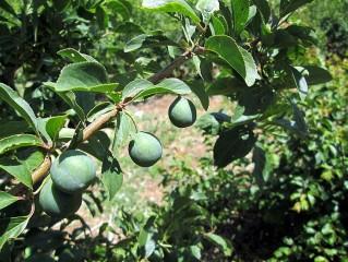 Sliva_Prunus domestica var. syriaca IMG_0565-001