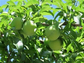 Sliva_Prunus domestica_IMG_6768 (2)