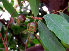 Syzygium jambos_IMG_3521 (2)