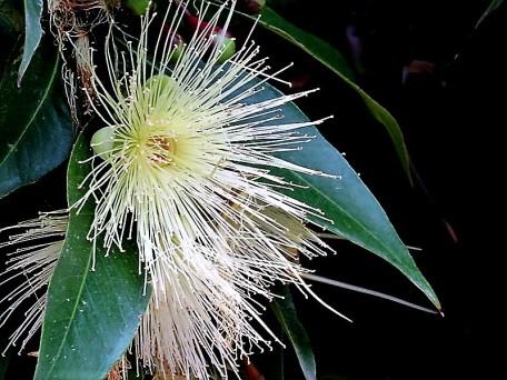 Syzygium jambos_IMG_3533 (3)