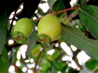 Syzygium jambos_IMG_3539 (2)